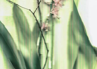 Queen Oncidium Orchid