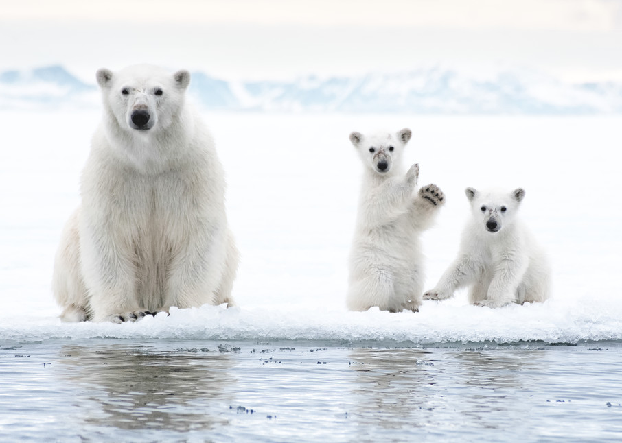 Ice Bears Photography Art | templeimagery