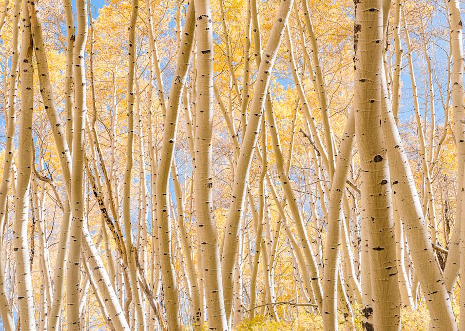 Beautiful Aspen Grove Photography Art | Peter Batty Photography