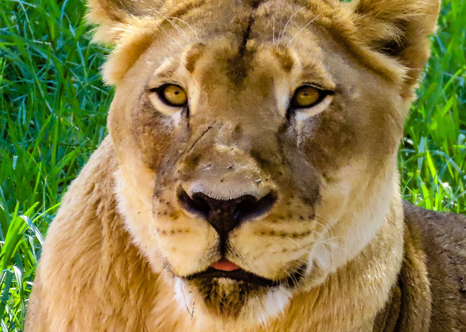 Elder-Lioness-Photograph