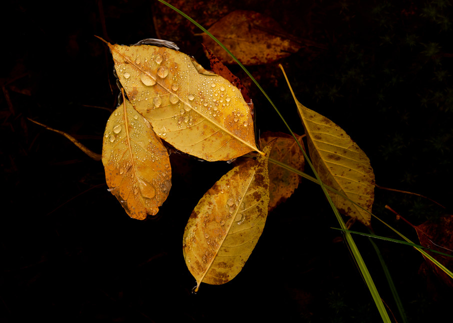 Leaves of autumn floating in a black pond with freshly-fallen raindrops.