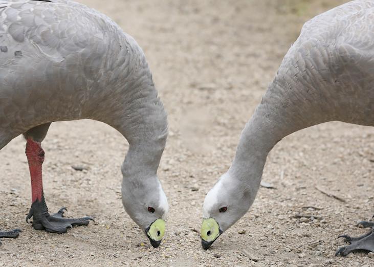 Cape Barren Geese Photography Art | Kristofer Reynolds Photography