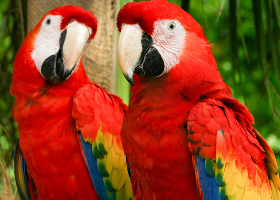 A Pair Of Parrots Photography Art   Kristofer Reynolds Photography