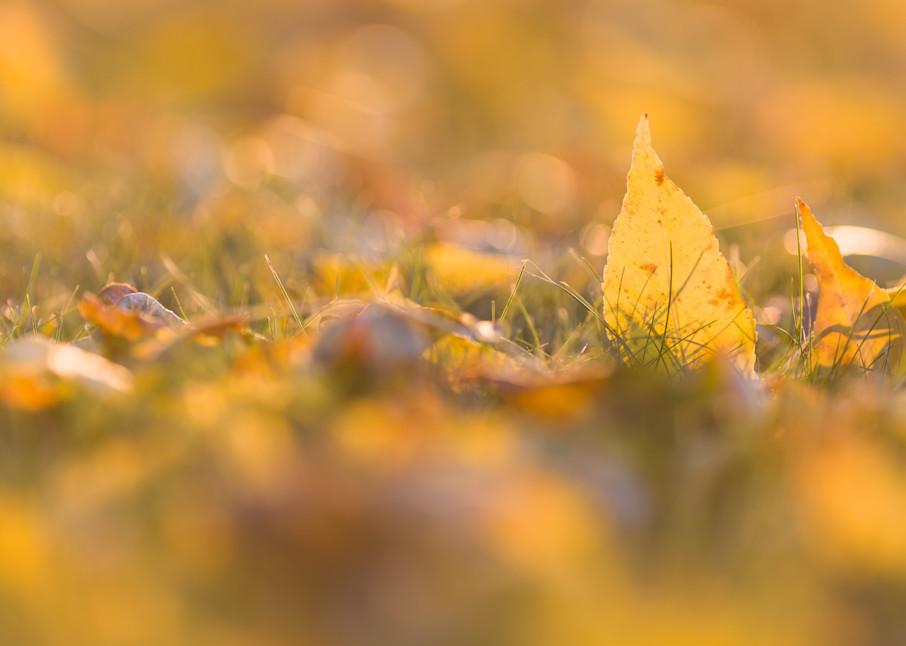 Low-angle autumn ash leaves - shop fine art prints   Closer Views