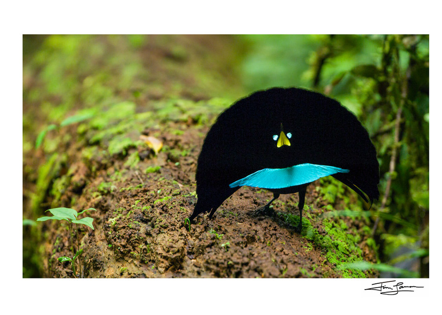 Photograph of a new birds of paradise species for sale.  Vogelkop Superb Bird-of-Paradise Performing.