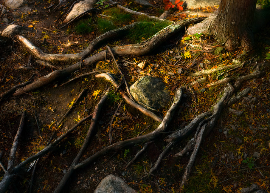 Tree roots autumn Maine, Color