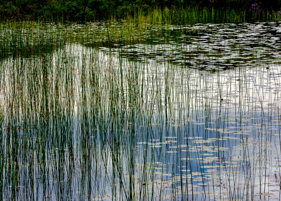 Reeds in Pond Along the A837 Outside Lochinver, Scotland