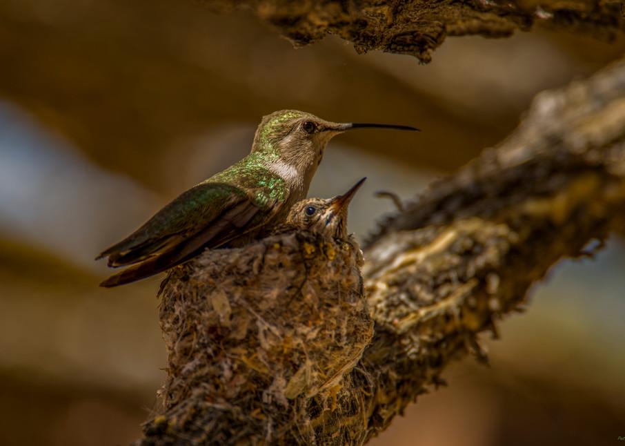 DP476 Humming Bird on nest