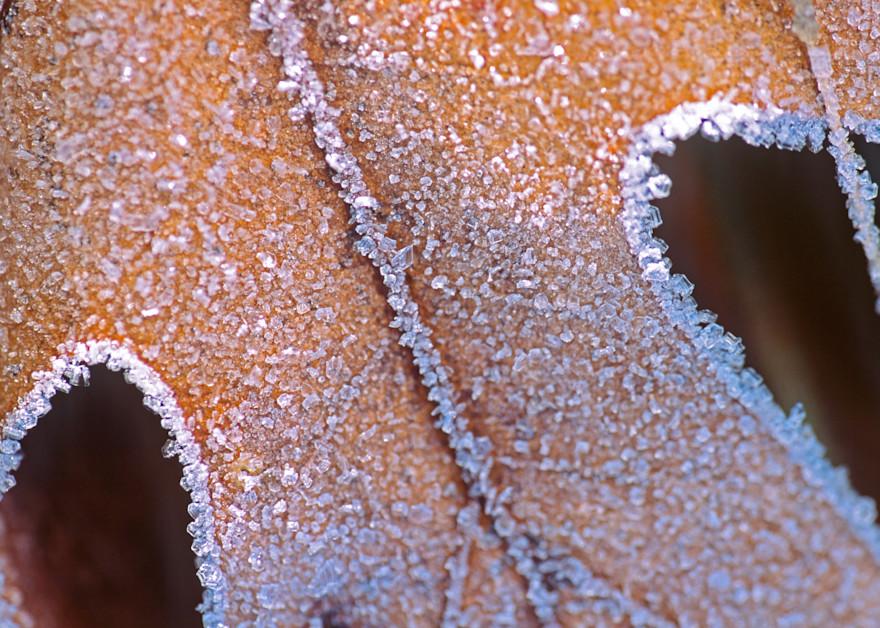 Frost covered Oak Leaf - shop fine art prints   Closer Views