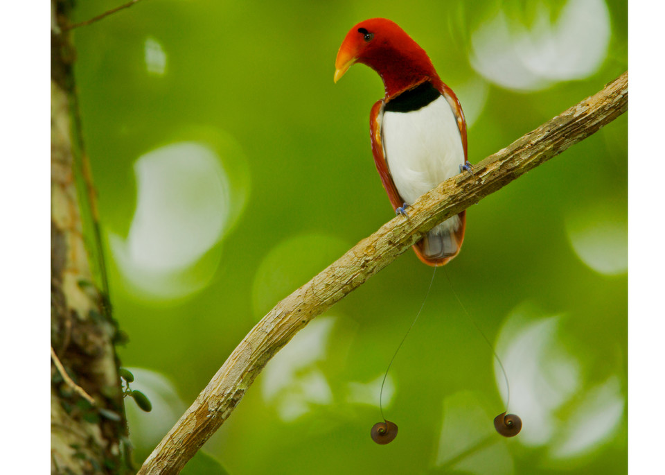 King Bird Of Paradise Perched Photography Art | Tim Laman