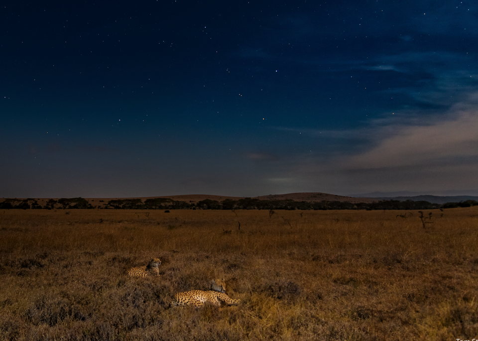 Cheetahs By Moonlight, 2016. Photography Art | Tom Stahl Photography
