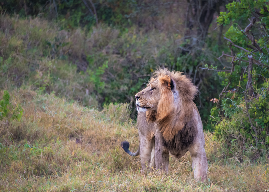 Male Lion, 2016. Photography Art | Tom Stahl Photography