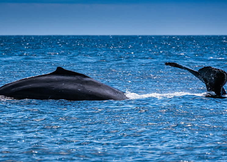 Humpback Whales, 2016. Photography Art | Tom Stahl Photography