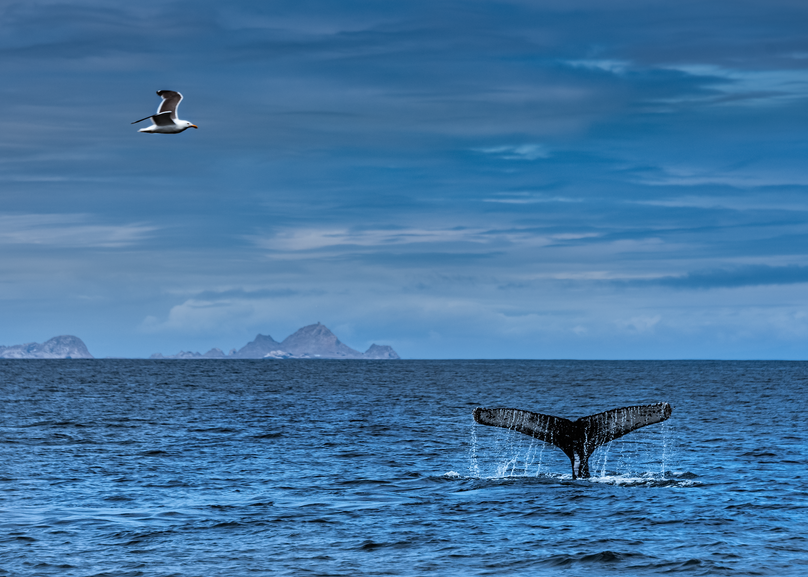 Humpback At Farallon Islands, 2017. Photography Art | Tom Stahl Photography