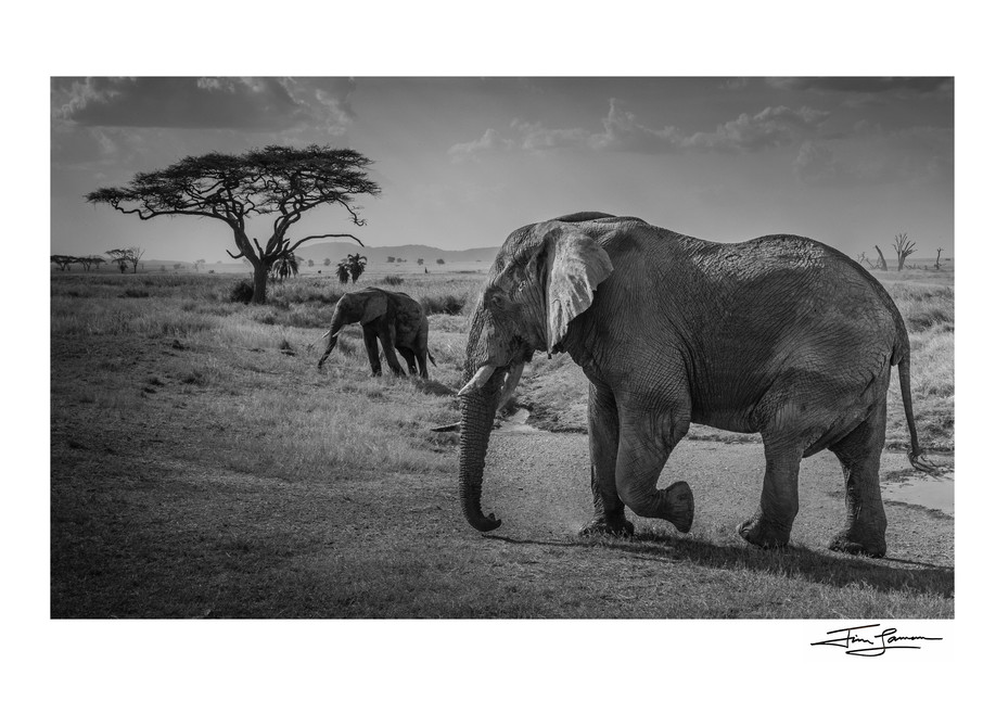 Old Tusker And Protoge Photography Art | Tim Laman