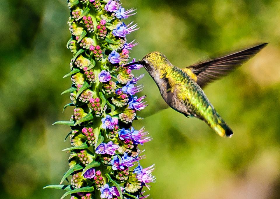 Napa Hummingbird