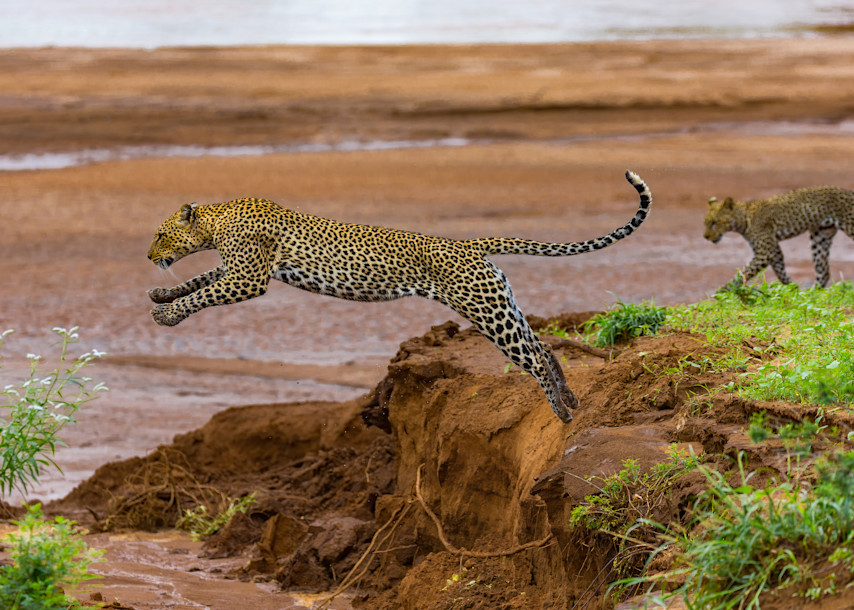Leaping Leopards Photography Art | danieldauria
