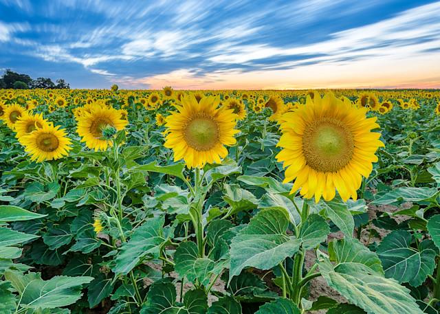 Sunflower Blue