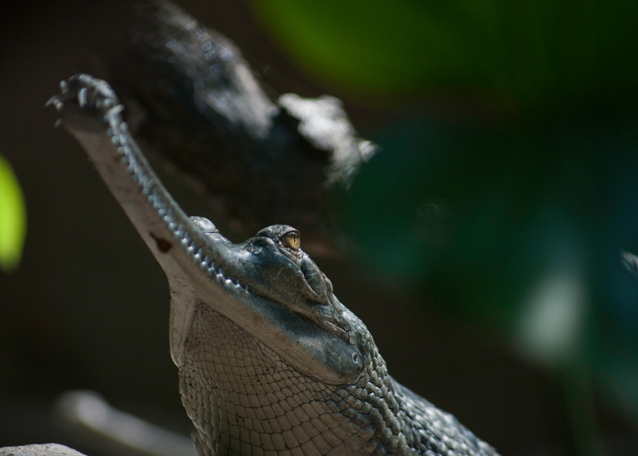 Gharial Photography Art | Kathleen Messmer Photography