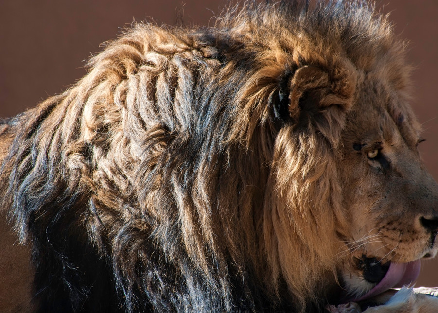 Lion Photography Art   Kathleen Messmer Photography