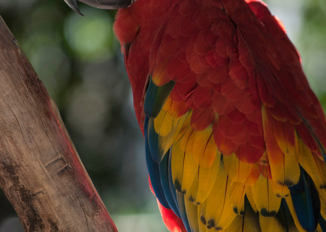Scarlet Macaw Photography Art | Kathleen Messmer Photography
