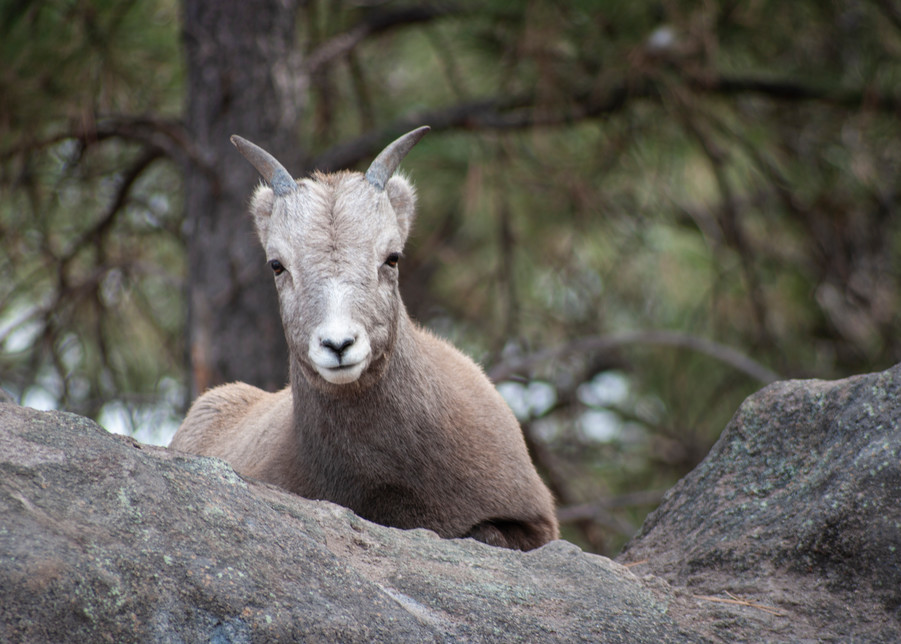 Young Mountain Goat Photography Art | Kathleen Messmer Photography
