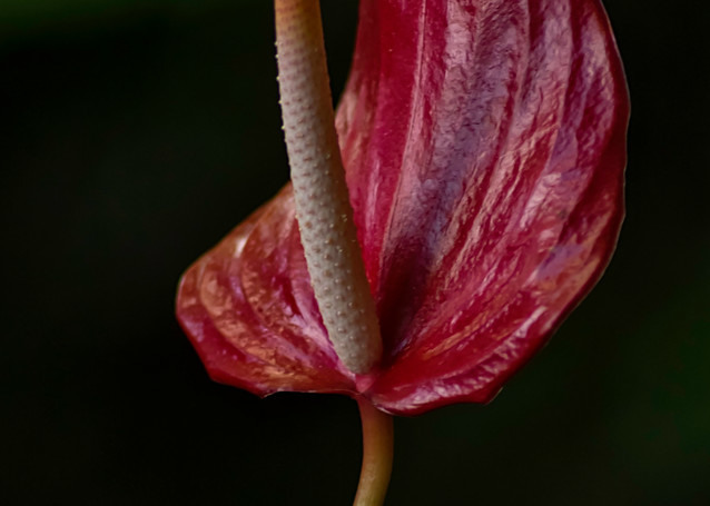 Anthurium Photography Art | Kathleen Messmer Photography