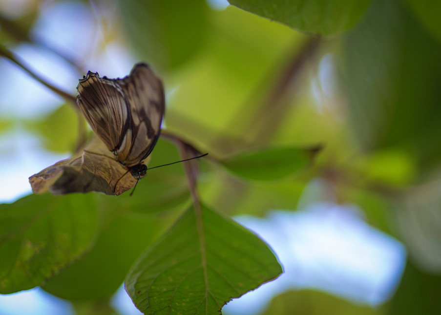 Brown And Black Butterfly Photography Art   Kathleen Messmer Photography