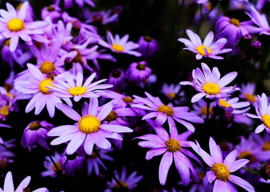 Purple Daisies Photography Art | FocusPro Services, Inc.
