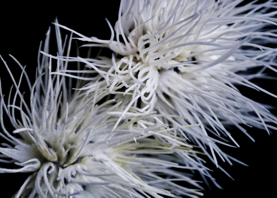 Spider Mums Photography Art | Kathleen Messmer Photography
