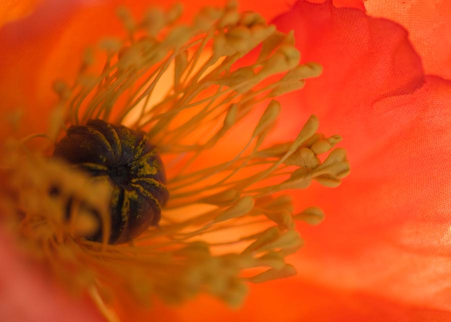 Orange Poppy Photograph