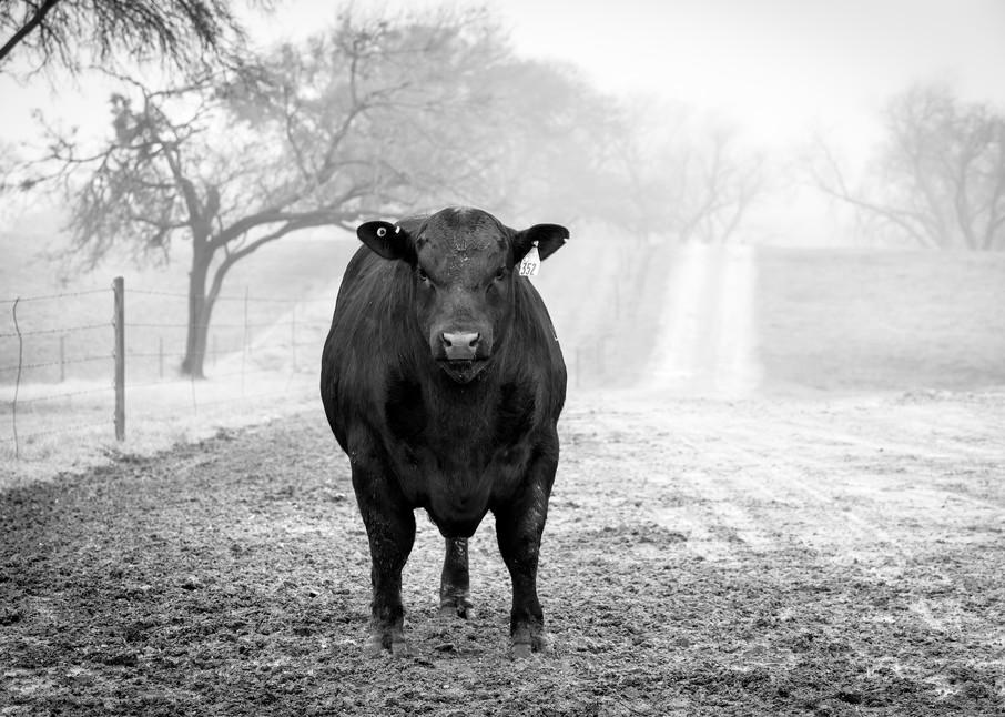 Angus Bull gazing directly at camera in morning fog