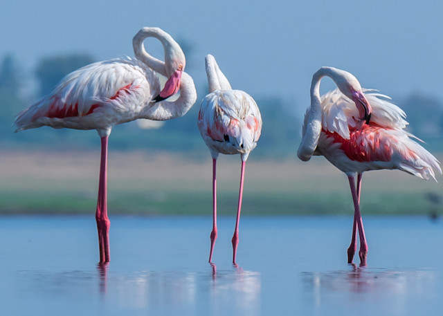 The Greater Flamingos