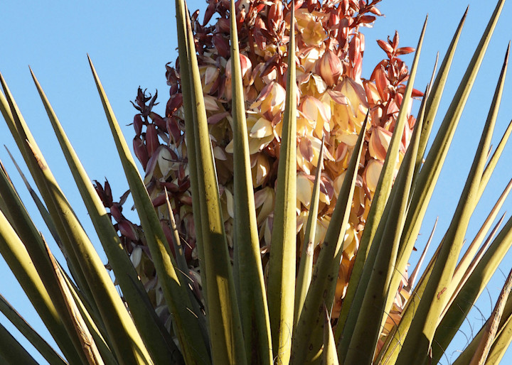 Blooming Yucca Photography Art | Galeria Mañana