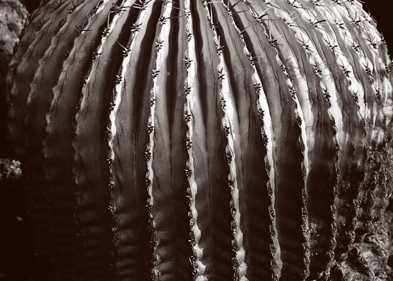 Biznaga (Barrel Cactus) Photography Art | Galeria Mañana