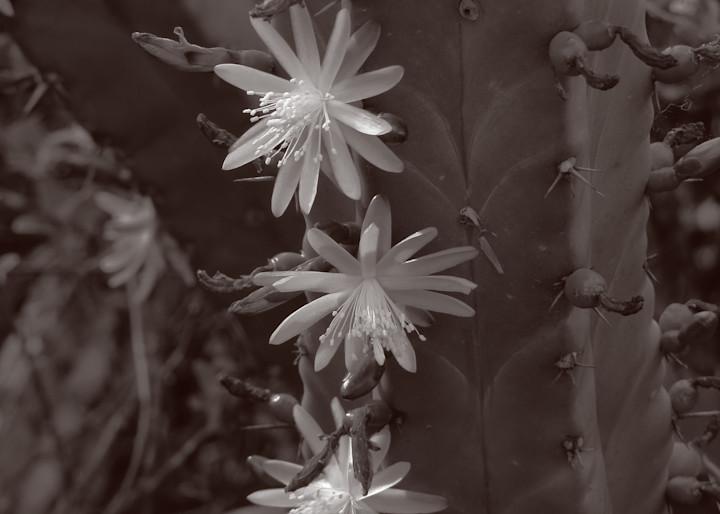 Garambullo Flowers Photography Art | Galeria Mañana