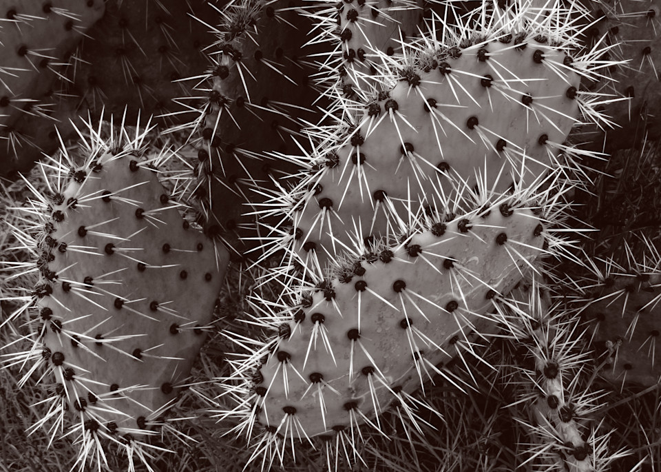 Spiny Nopal Photography Art | Galeria Mañana