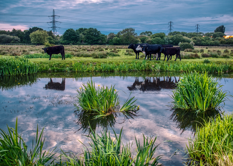 Cattle On Staines Moor Art   Martin Geddes Photography
