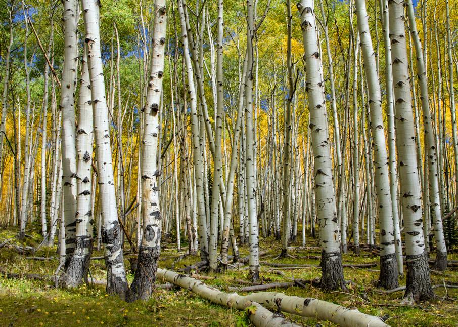 Aspen Grove Dark Canyon Photograph 4408   Colorado Photography   Fall in Colorado   Kebler  Pass   Koral Martin Fine Art Photography