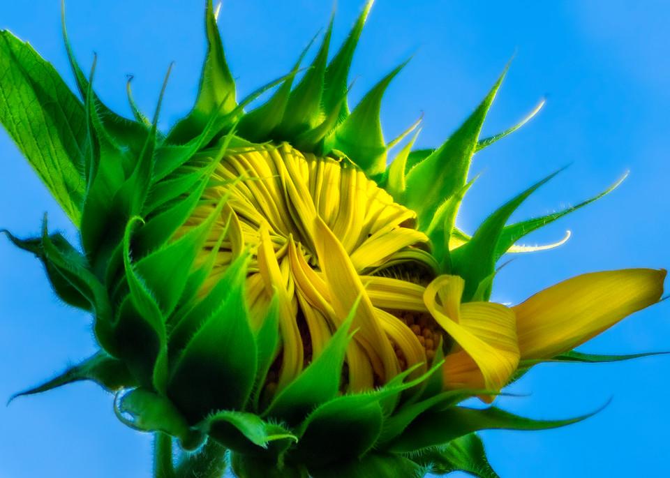 Sunflower Series03 Photography Art | Mark Steele Photography Inc