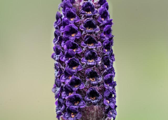 Botanicals: Lavender #2 - flower macro photograph print