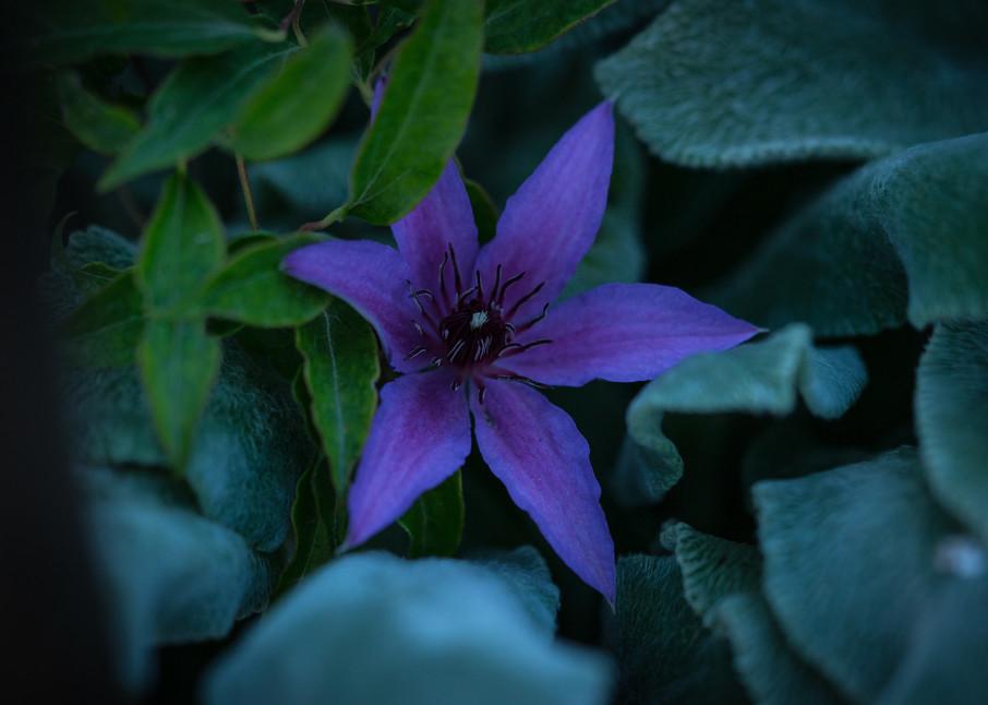 Botanicals: Clematis #1 - flower macro photograph print