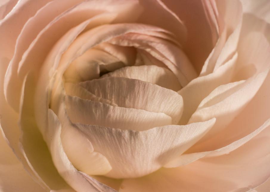 Close up of blush pink Ranunculus flower- macro photograph print