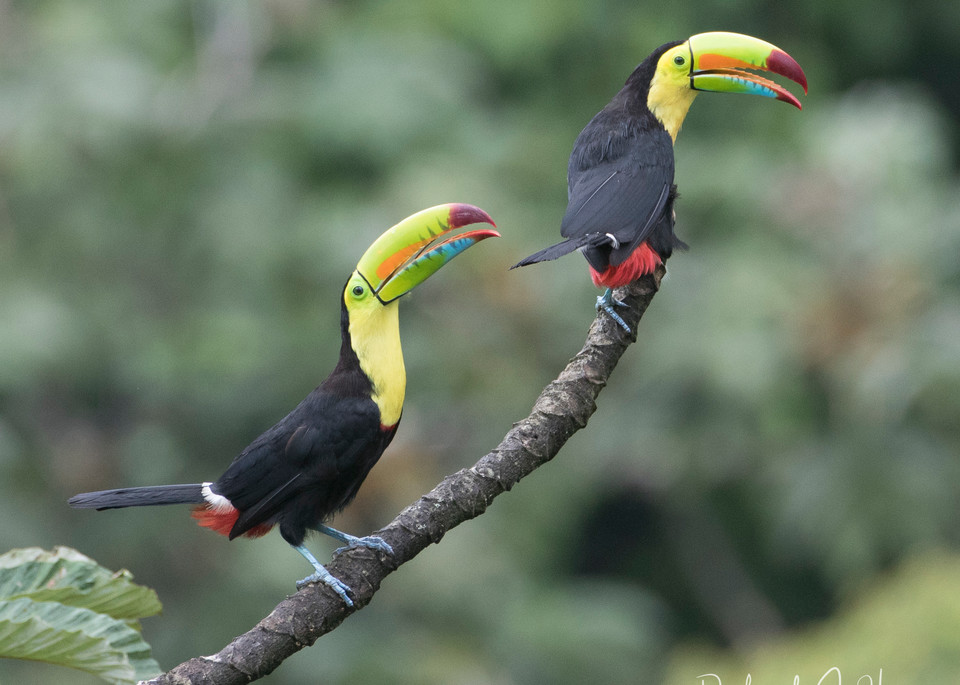 Friends Forever, PhotoDiscoveries, Toucan