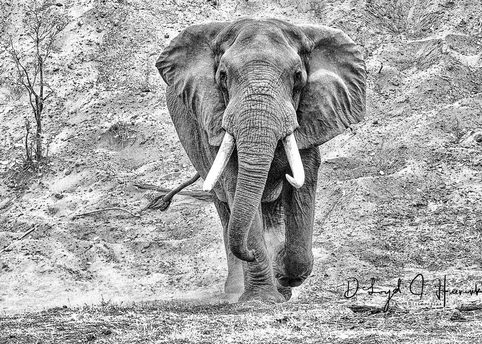 Charrrrrrge, Bull Elephant, big, charge, Africa animals