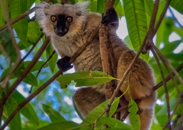 Female black lemur, Lokobe National Park, Madagascar