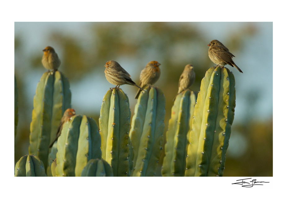 House finches on cactus photograph.  Signed wall art by award winning photographer.