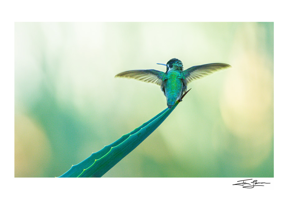 Costa's hummingbird portrait.  Photograph for your home.