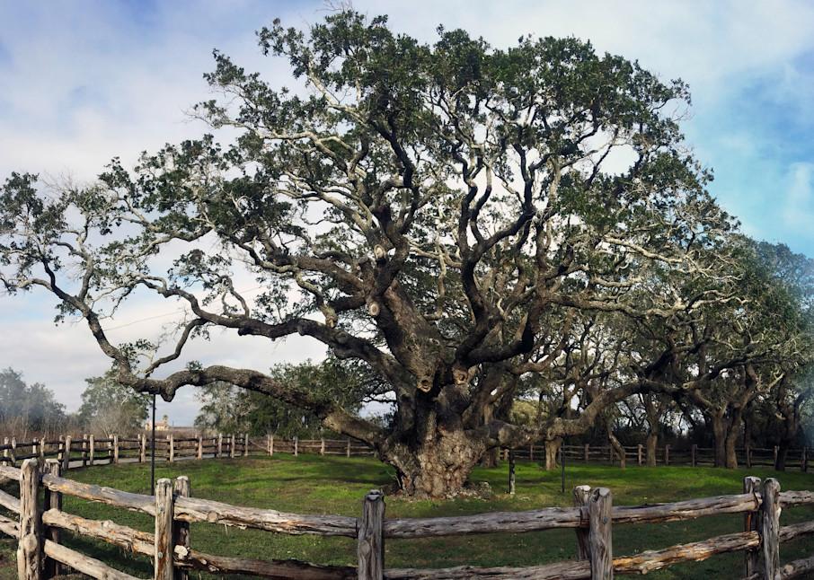 MPhillip-Big-Tree-Lamar