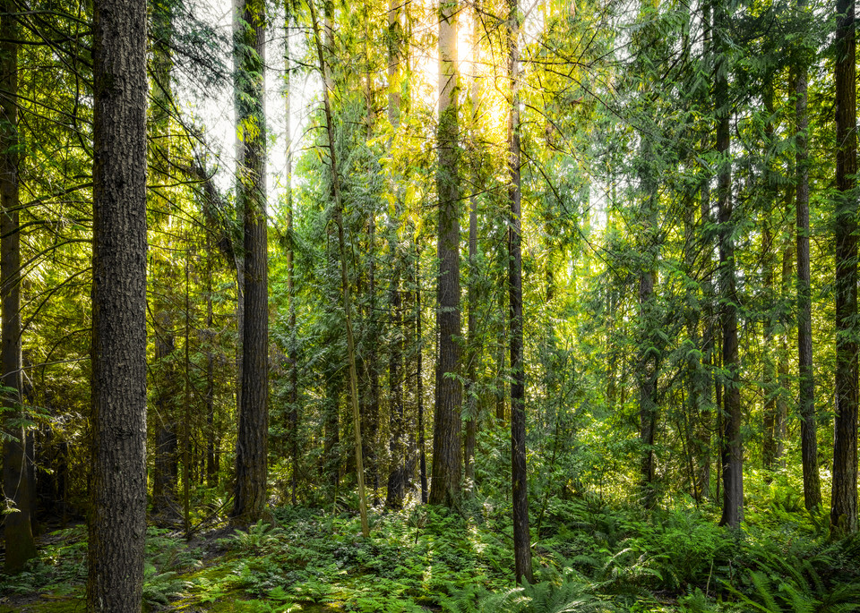 Forest Filtered Sun Art | James Alfred Friesen